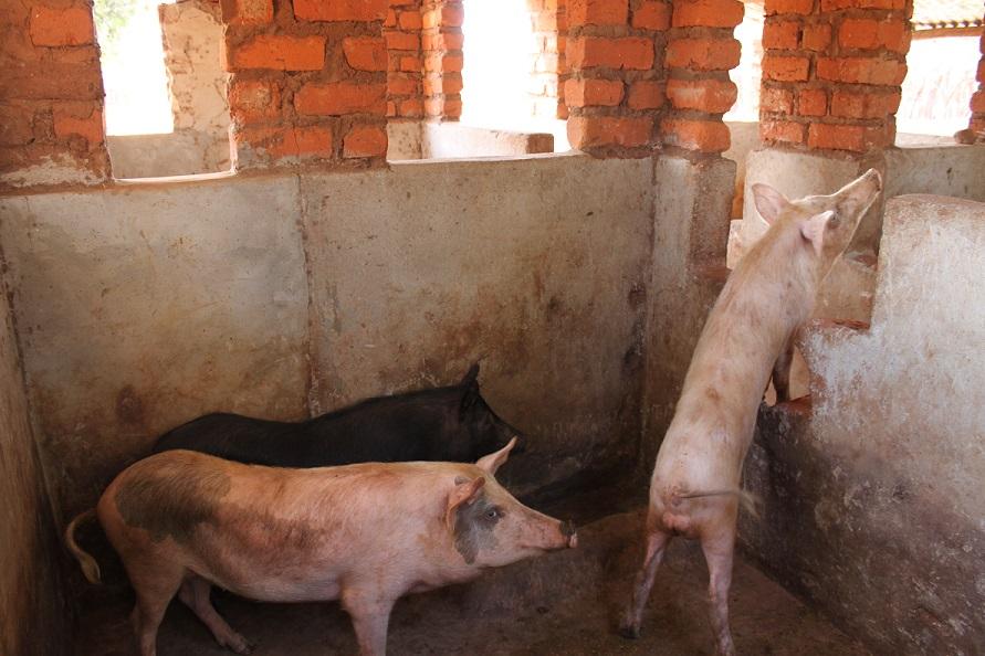 indoor_pigs