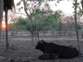 cow_and_calf