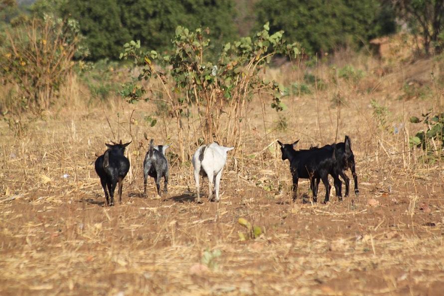 village_goats